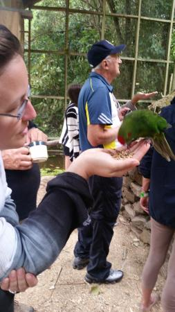 Lochmara Lodge Marlborough Sounds Wildlife Recovery Centre: Kakariki feeding time