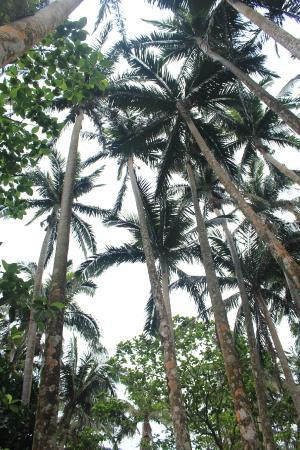 Yaeyama-yashi of Yonehara: Yaeyama Palm tree