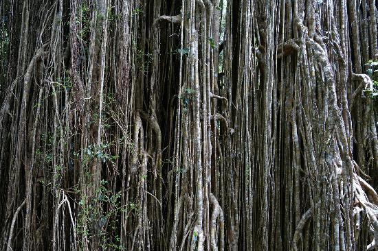 Curtain Fig National Park : Curtain Fig near Yungaburra