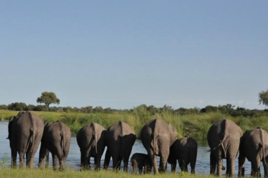 Wilderness Safaris Kings Pool Camp: Elephants regularly cross the Channel in front of Kings Pool Camp