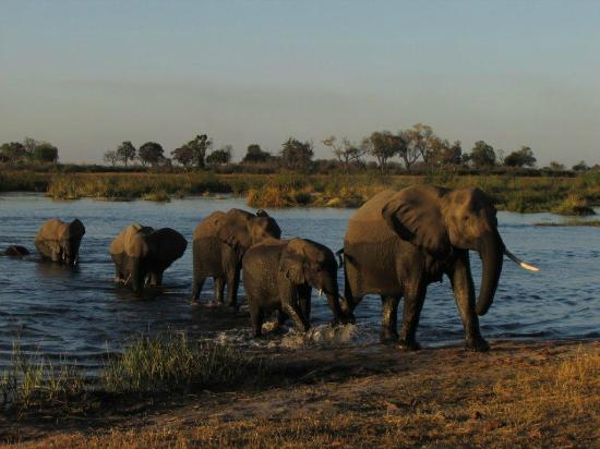 Wilderness Safaris Kings Pool Camp: The Savuti Channel in front of Kings Pool is a popular crossing point for Elephants