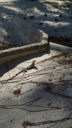 Rancho De La Playa : Iguana on beach