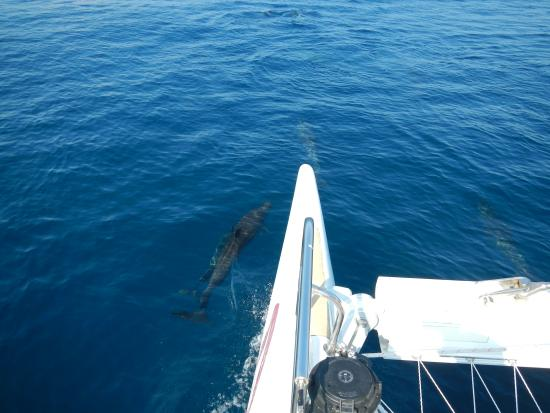 Picante Sailing Catamaran: Dolphins