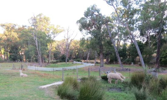 Sunway Farm Bed and Breakfast: Alpacas grazing in the grounds