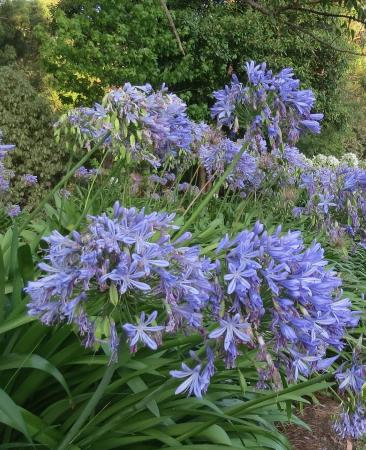Sunway Farm Bed and Breakfast: Flowers blooming in the garden - agapanthus, I think
