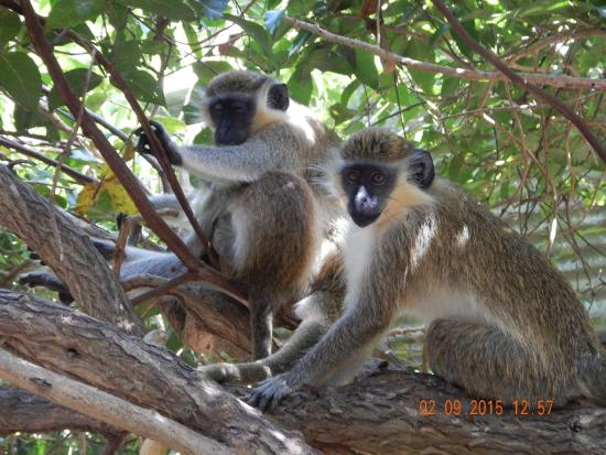 Saint George Parish, Barbados: monkey see, monkey do.