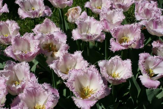 Botanical Garden: Tulipán