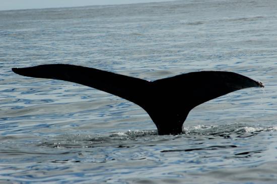 Whale Samana: mum tail fluke