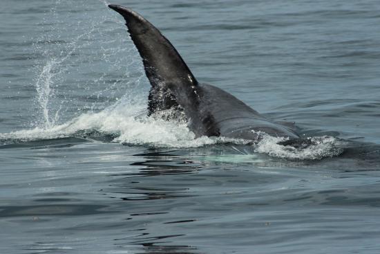 Whale Samana: calf tail slapping
