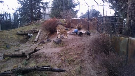 Idaho Falls Zoo at Tautphaus Park : Lions