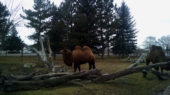 Idaho Falls Zoo at Tautphaus Park : Camels