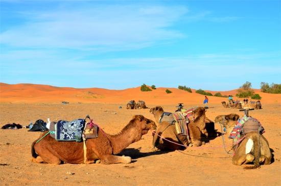 Moroccan Desert Trips : Camels