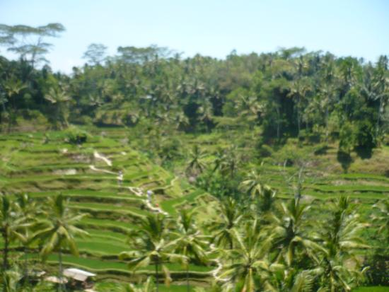 Veduta picture of tegalalang rice terrace ubud for Tegalalang rice terrace ubud