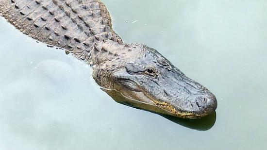 Abilene Zoo: Gator
