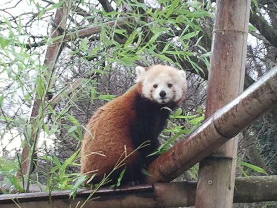 Red panda picture of menagerie du jardin des plantes paris tripadvisor - Menagerie du jardin des plantes tarif ...