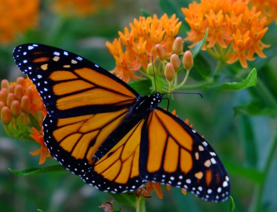 Mastodon State Historic Site: Monarch Butterfly Weed June 2014