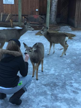 Riverside Lodge & Cabins: Feeding the deer.