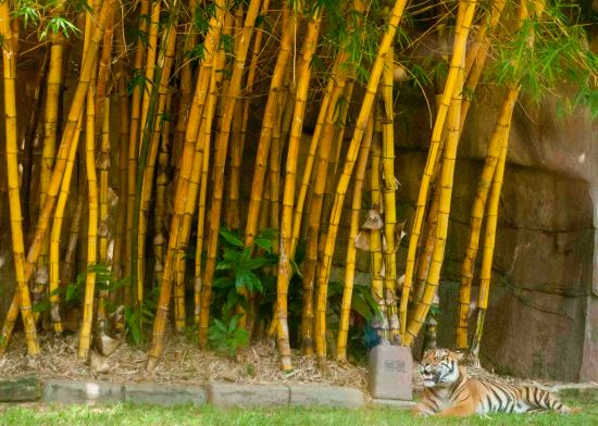 Beerwah, Australia: Tiger amongst the bamboo