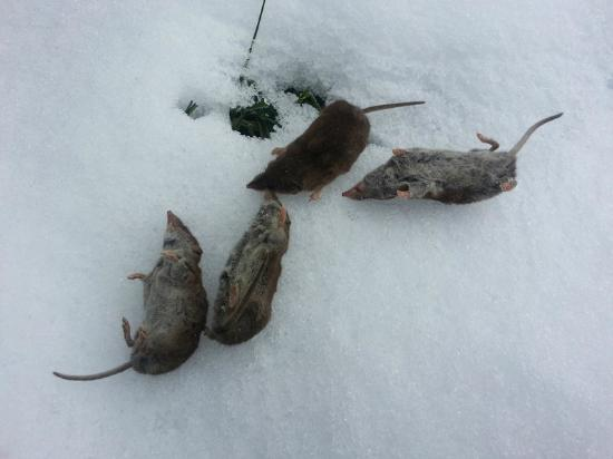 Hattigny, France: 4 des 5 souris