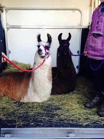 National Forest Llama Treks: New boys arriving...