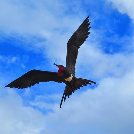 Christmas Island National Park: Male Christmas Island Frigate Bird looking for love