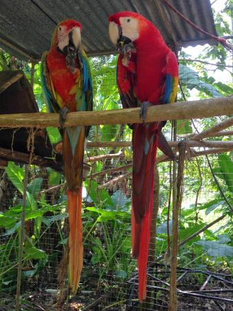 Jaco, Costa Rica: macaws