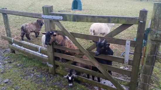 Tyddyn du Farm Luxury Suites: Feeding the goats :-)