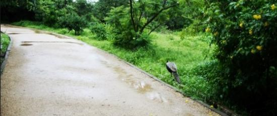KBR National Park: A rare glimpse of a peacock on the path