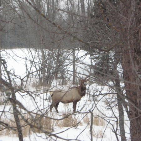 Hillman, MI: Elk viewing (some inside a restricted disease-free area)