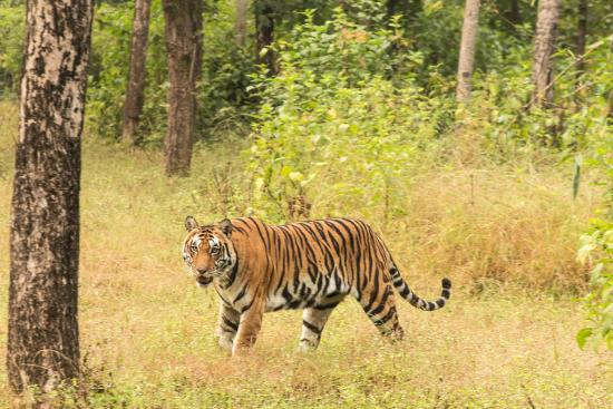 Mandla, India: Bengal Tiger coming out of the Jungle- Kanha NP 11/14