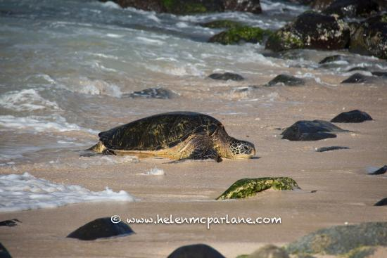 Paia, HI: Green Sea Turtle coming up the beach to rest