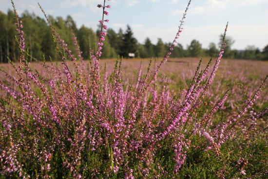 Uelzen, Germany: Hösseringen Heideflächen