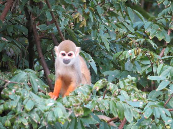 Amazon River : Spyder monkey