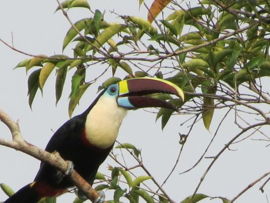 Amazon River : An abundance of beautiful birds.  A Toucan