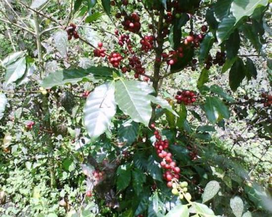 planta de café picture of finca agualinda san francisco tripadvisor