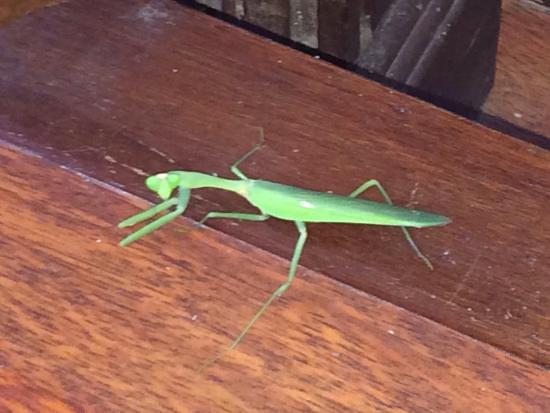 Arwana Estate : Preying Mantis