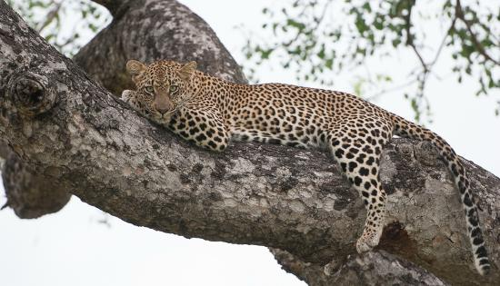 Londolozi Private Game Reserve: female leopard