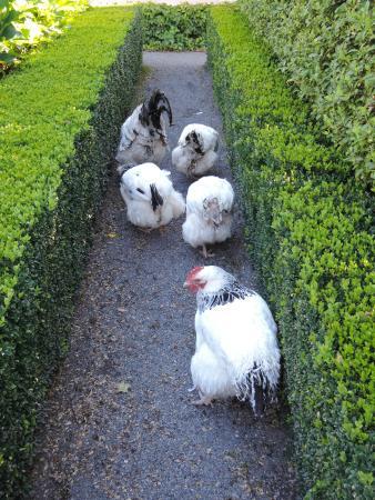 Old Wesleydale Heritage Accomodation: free range hens in garden