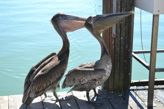 Caxambas Pass Park : Pelicans watching the fishermen