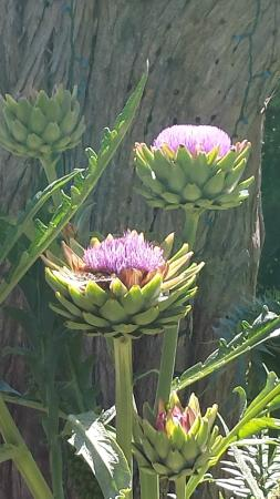San Diego Botanic Garden: Artichoke Blossoms