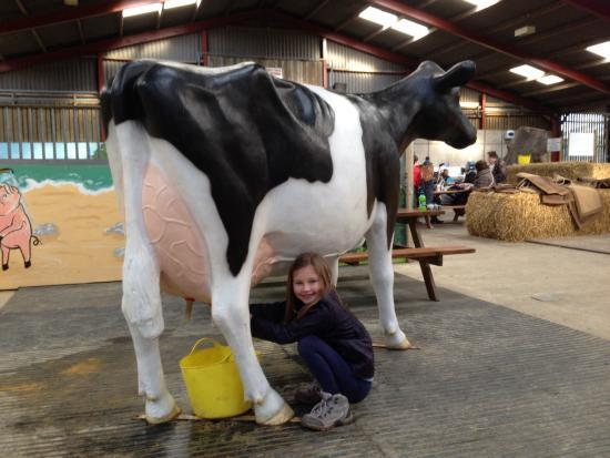 Thornton Hall Farm Country Park Fun Milking Cow Inside Barn