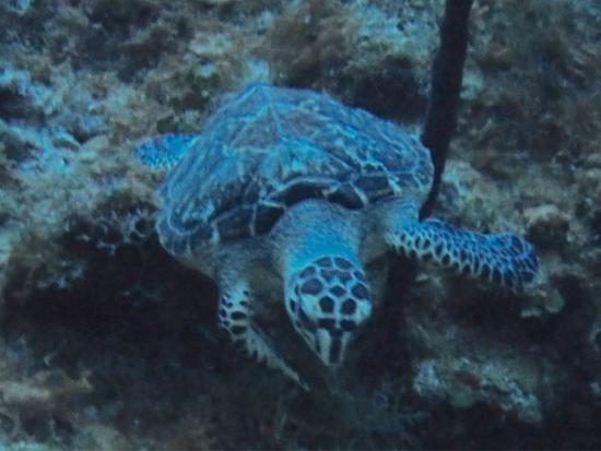 Western Wall: Hawksbill Turtle