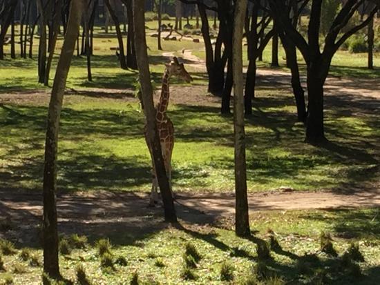 Feeding The Giraffe Picture Of Disney S Animal Kingdom