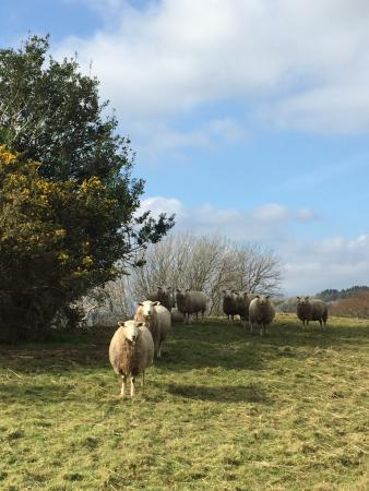 Oldaport Farm Cottages: Sheep greeting us