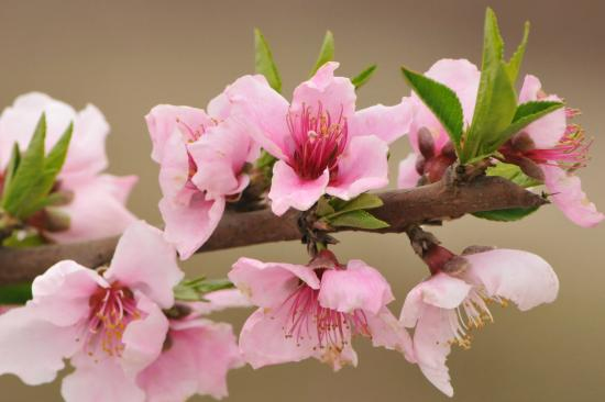Blossom Trail Peach Blossoms