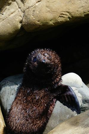 Καϊκούρα, Νέα Ζηλανδία: Seal pup