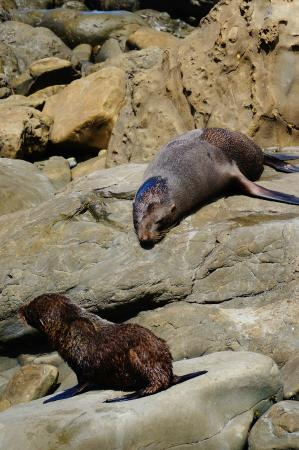 Kaikoura, New Zealand: Seal pup and mom