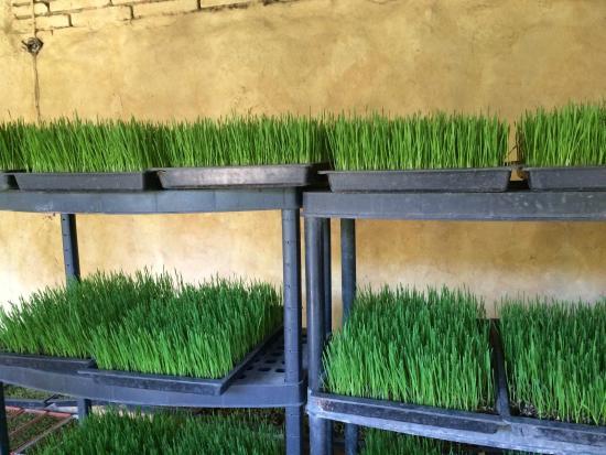 Puerto Vallarta Walking Tours: Organic Wheatgrass