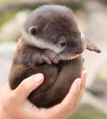 Tiroran House Hotel & Restaurant : A Baby Wild Otter, Just Adorable and in Abundance on Mull