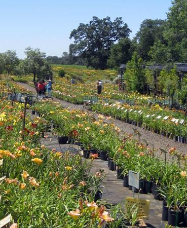 Amador Flower Farm The Daylilies Are Sold Online Bare Root But Also Available In
